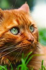 Orange cat, face, look, grass