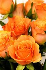 Rosas laranja, buquê, fundo branco