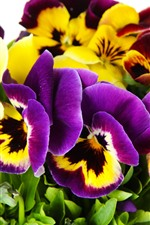 Preview iPhone wallpaper Pansy, purple and yellow flowers