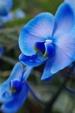 Preview iPhone wallpaper Phalaenopsis, blue petals, flower macro photography