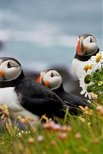 Puffin, chamomile, flowers