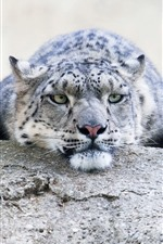 Snow leopard, rest, stone, look, face