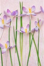 Preview iPhone wallpaper Some pink crocuses, flowers background