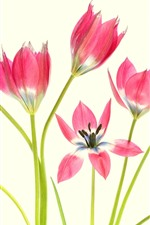 Some pink tulips, petals, white background
