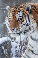 Preview iPhone wallpaper Tiger in the winter, snow, face, wildlife