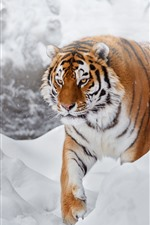 Preview iPhone wallpaper Tiger, snow, cold, wildlife