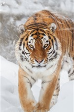 Preview iPhone wallpaper Tiger, snowy, winter