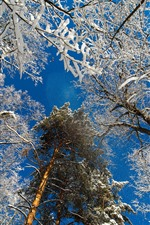 Trees, snow, blue sky, winter