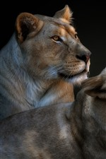 Preview iPhone wallpaper Two lioness, yawn
