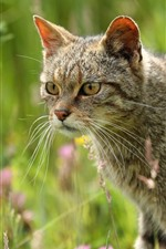 Wildcat, look, grass