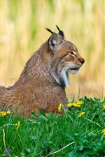 Wildcat, lynx, yellow flowers, grass