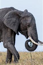 Vorschau des iPhone Hintergrundbilder Tierwelt, Elefant, Ohren, Stoßzähne, Gras