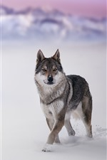 Preview iPhone wallpaper Wolf, wildlife, look, snow, winter
