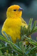 Yellow bird, twigs