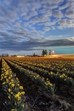 Preview iPhone wallpaper Yellow daffodils field, dusk