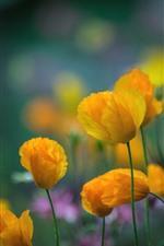 Preview iPhone wallpaper Yellow poppies, flowers
