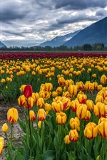 Preview iPhone wallpaper Yellow, red, purple tulips, flowers field, mountains, clouds