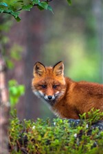 Preview iPhone wallpaper A fox, forest, hazy background