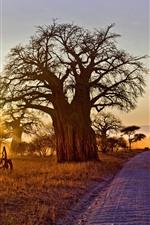 África, árvores, estrada, sol, manhã, outono