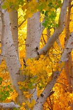 Preview iPhone wallpaper Autumn, yellow leaves, birch, trees, trunk
