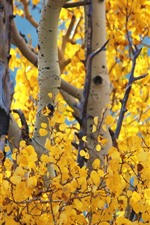 Preview iPhone wallpaper Birch, yellow leaves, autumn, trees