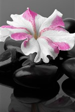Preview iPhone wallpaper Black stones, one flower, SPA