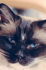 Preview iPhone wallpaper Blue eyes cat, look, furry