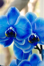 Preview iPhone wallpaper Blue phalaenopsis, orchid