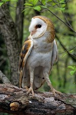 Preview iPhone wallpaper Common barn owl