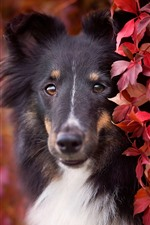 Preview iPhone wallpaper Dog, red leaves, hazy, autumn