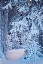 Tannenzweige, Schnee, Baum, Winter