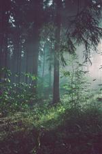 Forest, morning, trees, sun rays, fog