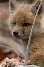 Preview iPhone wallpaper Fox cub, look