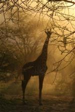 Preview iPhone wallpaper Giraffes, trees, fog, morning, hazy