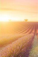 Preview iPhone wallpaper Lavender flowers field, sunshine, glare, morning