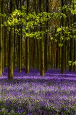 Preview iPhone wallpaper Lavender, purple flowers, trees, spring
