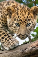 Preview iPhone wallpaper Leopard cub, look