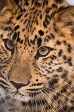 Preview iPhone wallpaper Leopard, wild cat, face, look, eyes