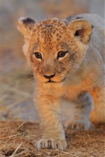 Preview iPhone wallpaper Lion cub walk to you