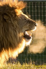 Preview iPhone wallpaper Lion yawn, hot steam