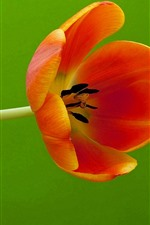 One orange tulip, green background