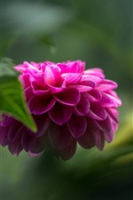 Preview iPhone wallpaper Pink dahlia, green hazy background