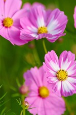 Розовая космея цветов, весна, зеленый фон
