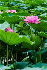 Preview iPhone wallpaper Pink lotus, flowers, green lotus leaves