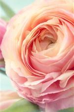 Pink peony close-up, petals