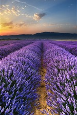 Preview iPhone wallpaper Purple lavender flowers field, sunrise, glare, morning