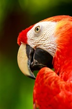 Red feather macaw, parrot, beak, head