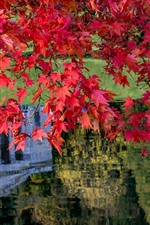 Preview iPhone wallpaper Red maple leaves, pond, autumn