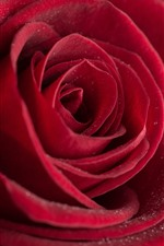 Red rose, petals close-up, water droplets