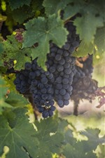 Preview iPhone wallpaper Ripe grapes, green foliage, hazy